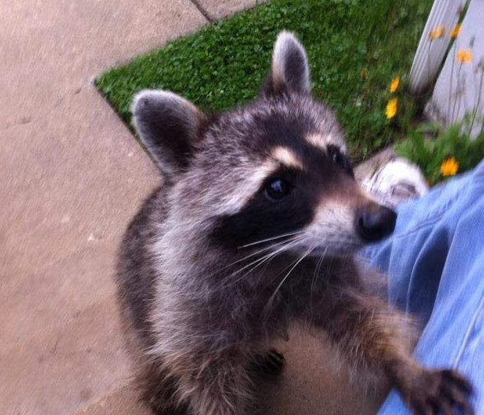 Raccoons damage Bristol County Home